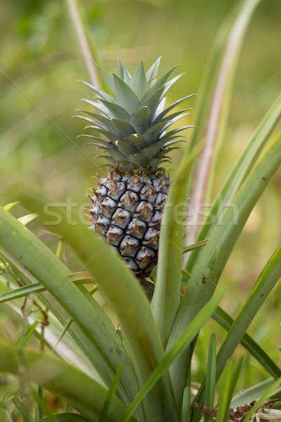 Pineapple tropical fruit in garden, madagascar Stock photo © artush
