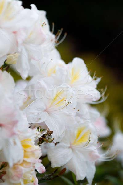 Flowering flower azalea, rhododendron in spring garden Stock photo © artush