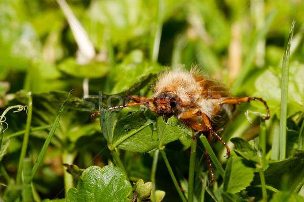 バグ ヨーロッパの カブトムシ 害虫 夏 ストックフォト © artush
