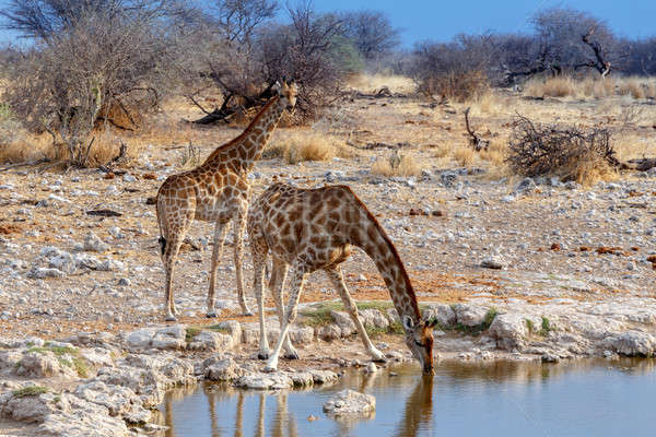 Giraffa camelopardalis drinking from waterhole in Etosha national Park Stock photo © artush