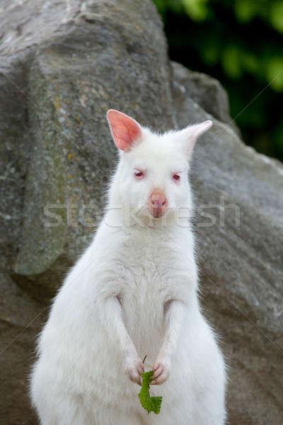 Beyaz albino kadın kanguru çim Stok fotoğraf © artush