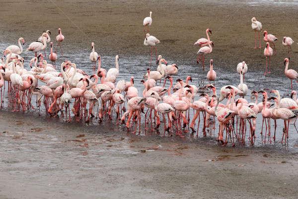 Rosy Flamingo colony in Walvis Bay Stock photo © artush