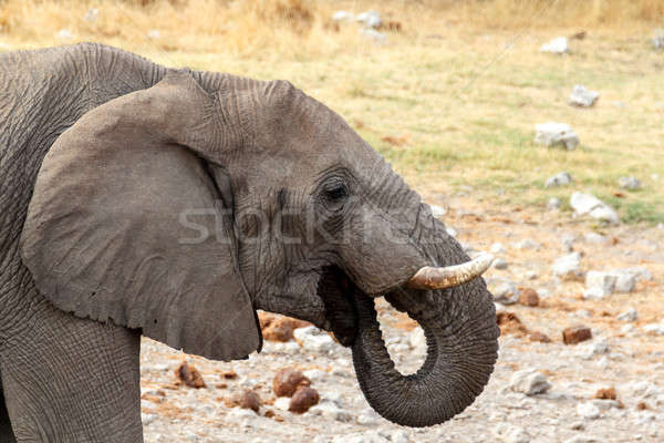 young african elephants on Etosha national park Stock photo © artush