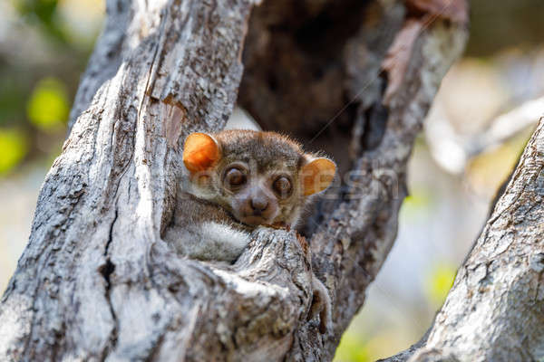 Ankarana sportive lemur, Madagascar Stock photo © artush