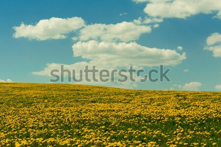 spring flowers dandelions with blue sky Stock photo © artush