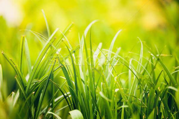 Frischen grünen Gras Anlage Frühling Garten natürlichen Stock foto © artush