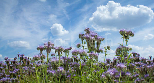 Summer scenery with Purple lucerne field and bumble bee Stock photo © artush