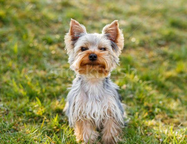 Cute small yorkshire terrier Stock photo © artush