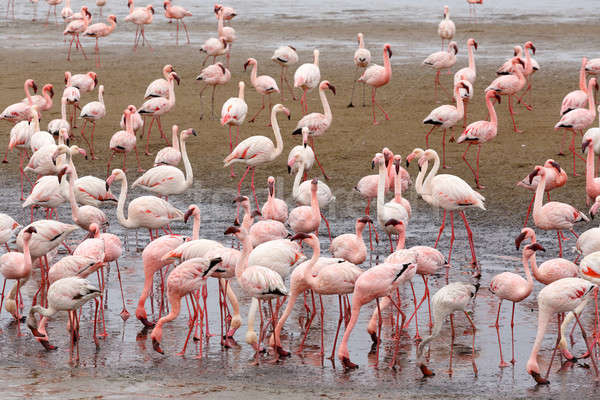 Rosy Flamingo colony in Walvis Bay Namibia Stock photo © artush
