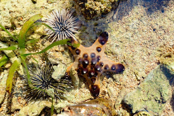 Sea Urchin and Starfish on the sea bed Stock photo © artush