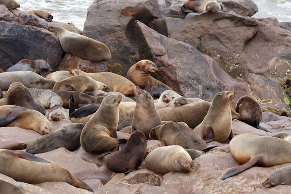 sea lions in Cape Cross, Namibia, wildlife Stock photo © artush