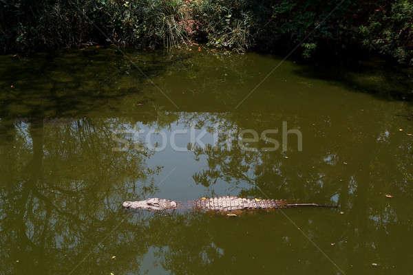 Nile Crocodile hiden in water Stock photo © artush