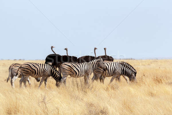 herd of Zebra and ostrich in african bush Stock photo © artush