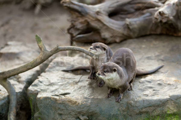 Stock photo: European otter (Lutra lutra)