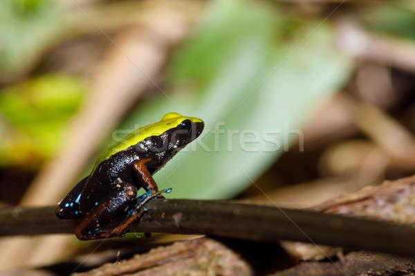 frog Climbing Mantella, Madagascar wildlife Stock photo © artush