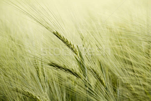 detail of organic green grains in summer time Stock photo © artush