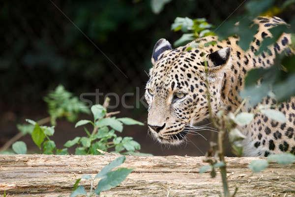 雪 ヒョウ 見える 餌食 自然 猫 ストックフォト © artush