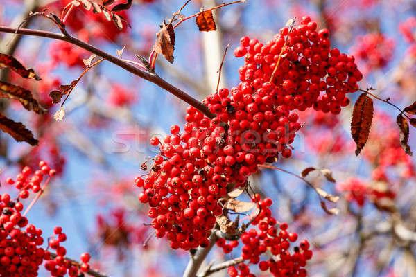 detail of Rowan Berries (Sorbus aucuparia) Stock photo © artush