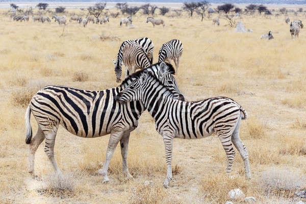 Zebra tay anne Afrika çalı park Stok fotoğraf © artush