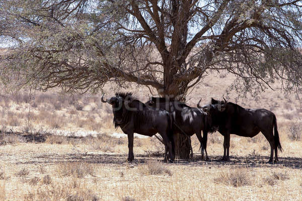 wild (Connochaetes taurinus) Blue Wildebeest Gnu grazing Stock photo © artush