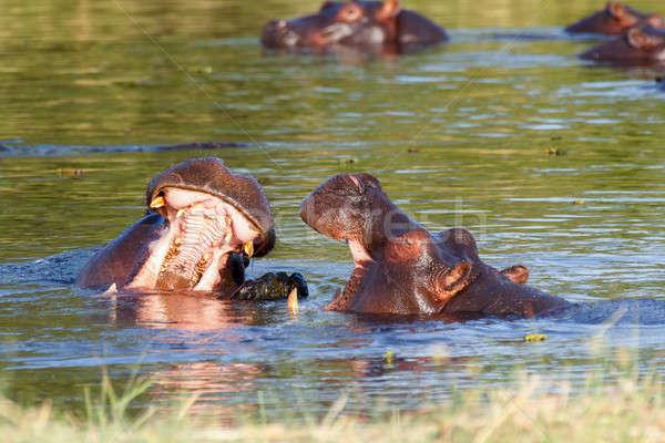 Stock photo: Two fighting young male hippopotamus Hippopotamus