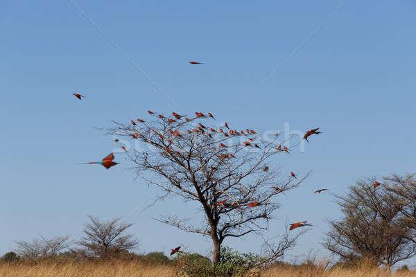 large nesting colony of Nothern Carmine Bee-eater Stock photo © artush