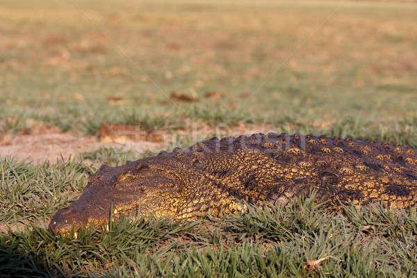 Portret crocodil parc Botswana ochi verde Imagine de stoc © artush