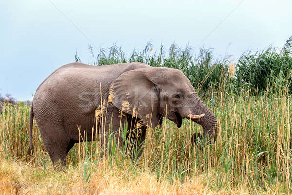 big african elephants in Etosha  Stock photo © artush