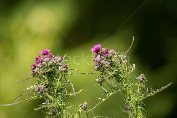 Purple thistle in green meadow Stock photo © artush