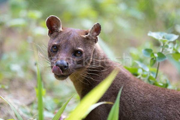 Carnívoro mamífero Madagáscar dieta reserva animais selvagens Foto stock © artush