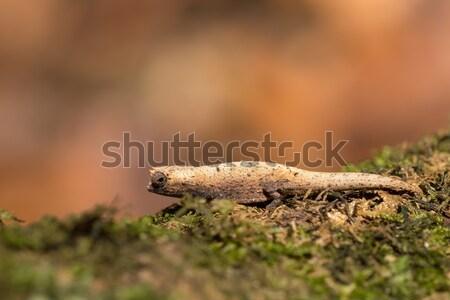 tiny chameleon Brookesia micra (Brookesia minima) Stock photo © artush