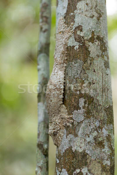 Perfectly masked mossy leaf-tailed gecko Stock photo © artush