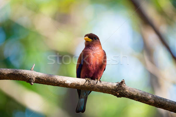 Bird Broad-billed Roller (Eurystomus glaucurus) Madagascar Stock photo © artush