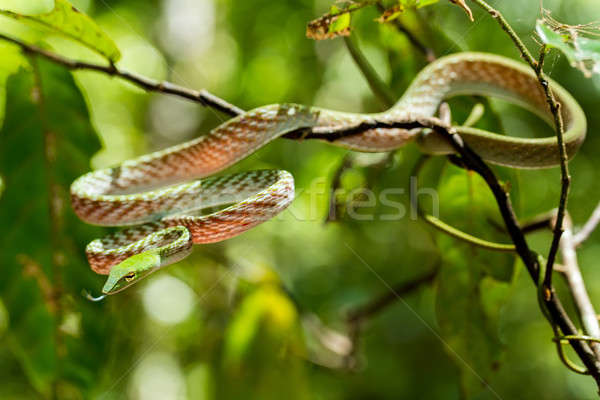 green Asian Vine Snake (Ahaetulla prasina) Stock photo © artush