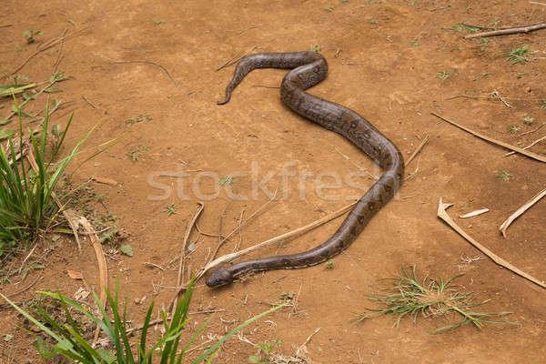 árvore grande serpente espécies ilha âmbar Foto stock © artush