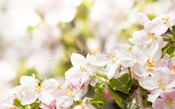 Blossoming apple in spring with very shallow focus Stock photo © artush