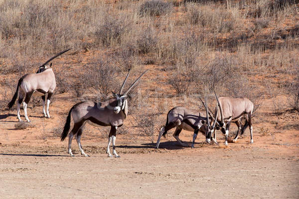 fight between two male Gemsbok, Oryx gazella Stock photo © artush
