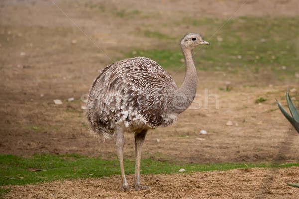 Portrait of Australian Emu (Dromaius novaehollandiae) Stock photo © artush