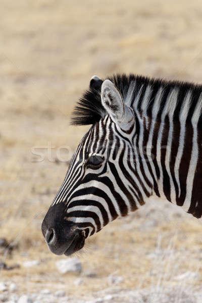 ストックフォト: シマウマ · 肖像 · 公園 · ナミビア · 野生動物 · 写真