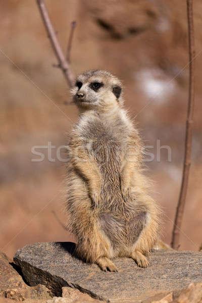 female of meerkat or suricate Stock photo © artush