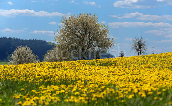 spring flowers dandelions Stock photo © artush