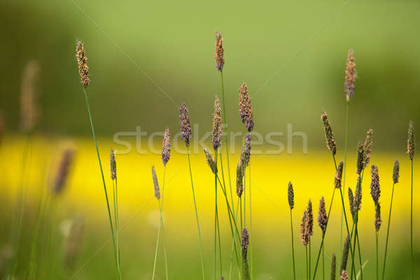 grass on meadow with color background Stock photo © artush