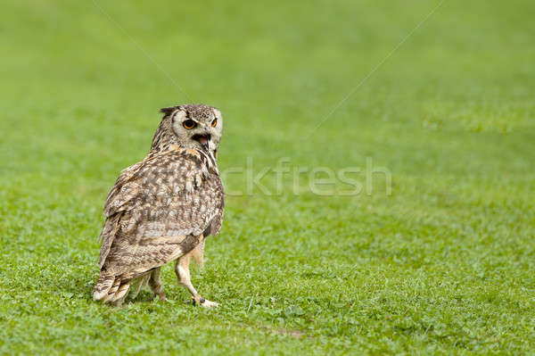 Eagle owl grand oiseau herbe verte oeil visage Photo stock © artush