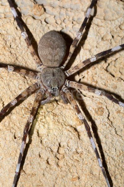 Zebra spider Viridasius fasciatus Stock photo © artush