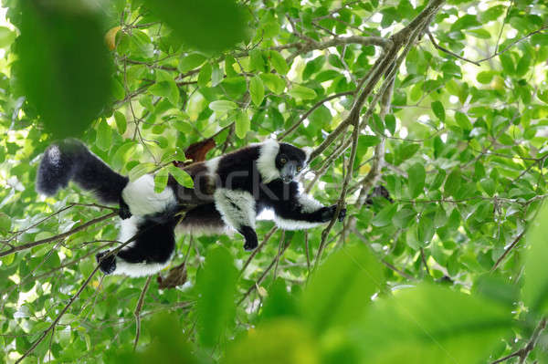 Black-and-white ruffed lemur, Madagascar wildlife Stock photo © artush