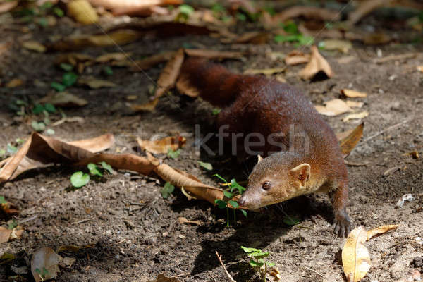 Ring-tailed mongoose (Galidia elegans) Madagascar Stock photo © artush
