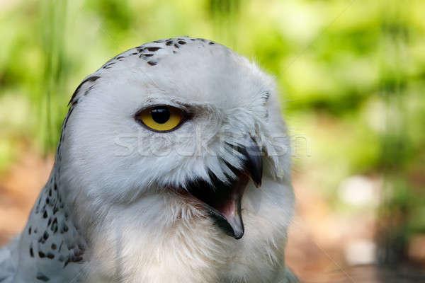snowy owl (Bubo scandiacus) large white bird Stock photo © artush