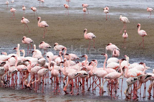 Rosy Flamingo colonia Namibia enorme deserto Foto d'archivio © artush