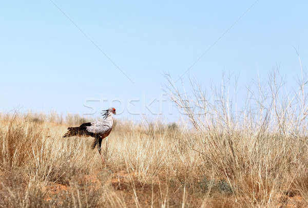 Secretary bird seeking for prey Stock photo © artush