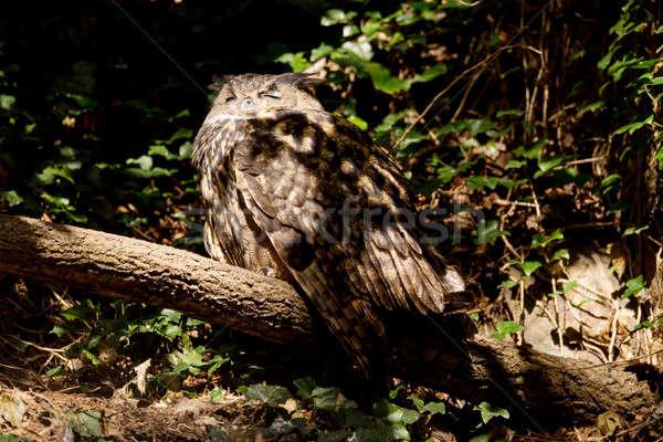 urasian Eagle-owl sitting on the tree Stock photo © artush